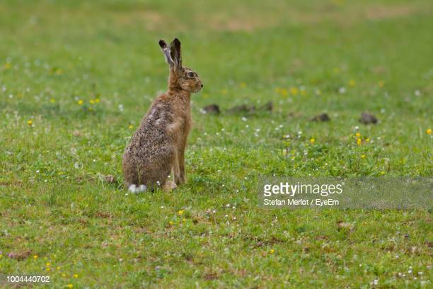 hare on grassy field - hare stock pictures, royalty-free photos & images