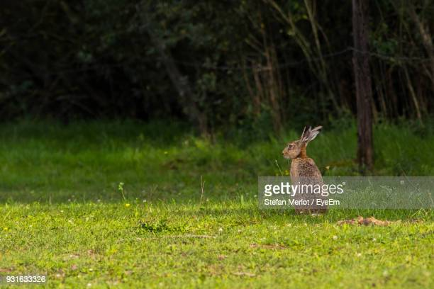 Hare On Grassy Field