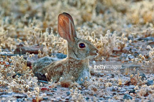 hare relaxing on field - animal ear stock photos and pictures