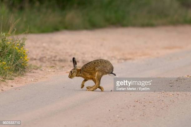 Hare Running On Road