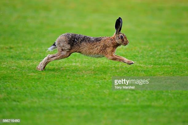 A hare runs on the fairway on day two of the Aberdeen Asset Management Paul Lawrie Matchplay at Archerfield Links Golf Club on August 5 2016 in North...