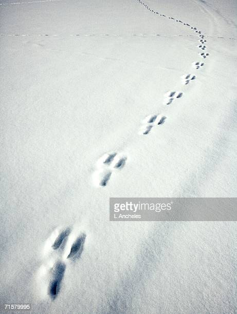 Hare tracks in snow.