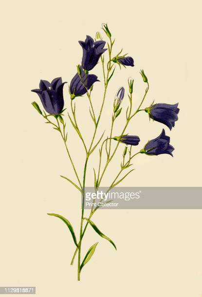'Harebell' 1877 Harebell a perennial flowering plant native to grassland and heaths From Familiar Wild Flowers figured and described by F Edward...