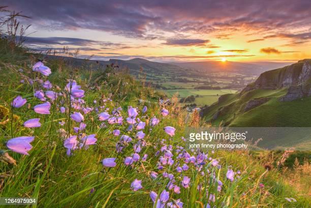 harebells at sunrise, castleton, derbyshire, peak district. uk - bluebell stock pictures, royalty-free photos & images