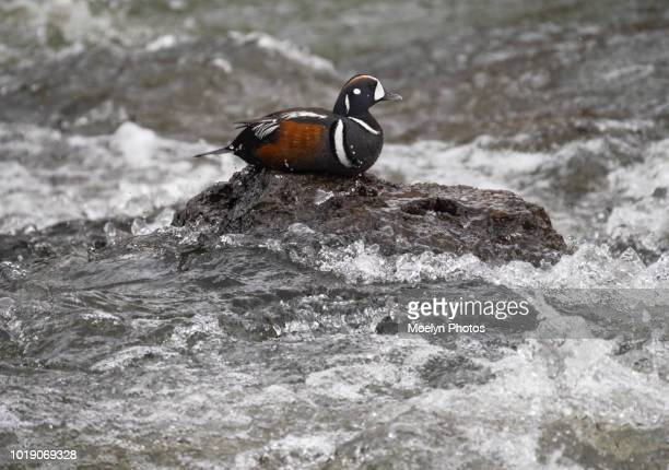 harelequin duck at lehardy rapids 0018 - yellowstone river stock photos and pictures