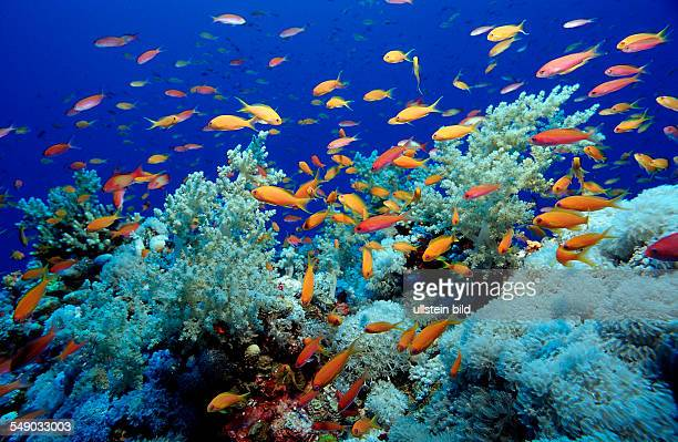 Harem Flag Basslet and coral reef Pseudanthias squamipinnis Egypt Sha'ab Tamara Red Sea