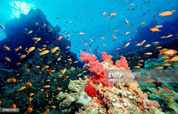 Harem Flag Basslet and coral reef Pseudanthias squamipinnis Egypt Africa Sinai Sharm el Sheik Red Sea