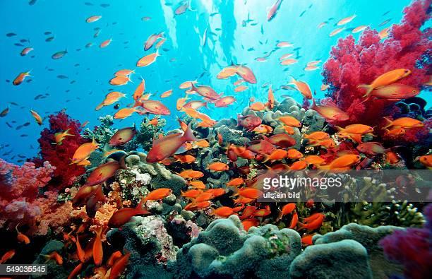 Harem Flag Basslet and coral reef, Pseudanthias squamipinnis, Egypt, Africa, Sinai, Sharm el Sheik, Red Sea