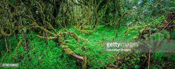 Harenna Escarpment forest interior, Bale Mountains National Park, Ethiopia.