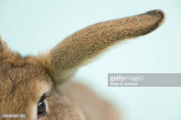 hare's ear, close-up - animal ear stock photos and pictures