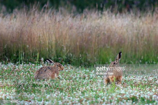 hares in clover - brown hare stock pictures, royalty-free photos & images
