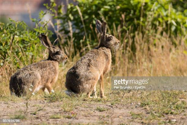 hares on field during sunny day - per grunditz stock pictures, royalty-free photos & images