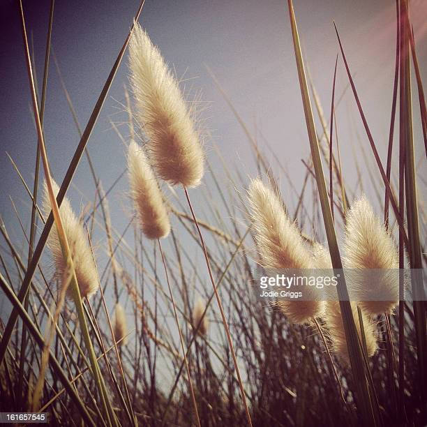 Hare's tail grass against a blue sky