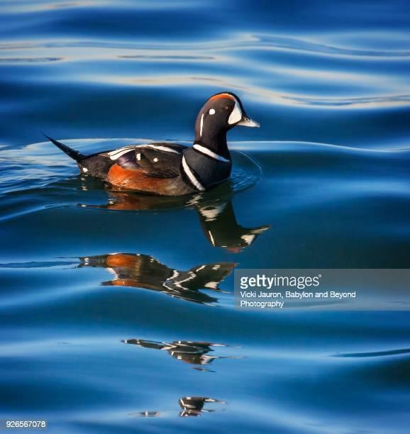 harlequin duck and shadows at jones beach, long island - arlequim - fotografias e filmes do acervo
