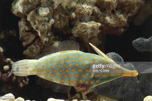 Harlequin filefish swimming in sea