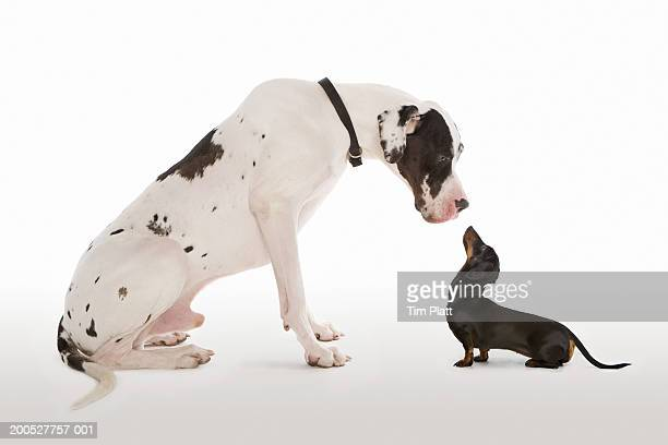 harlequin great dane and miniature dachshund sitting face to face in studio - small stock pictures, royalty-free photos & images