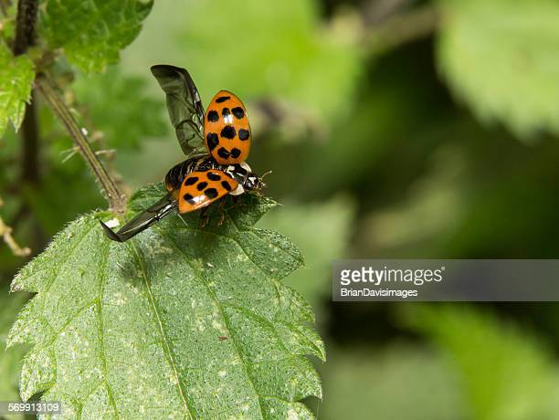 harlequin ladybird - harlequin stock photos and pictures