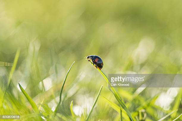 Harlequin Ladybird prepares to take flight on November 3 2016 in London England Harlequin Ladybirds are an invasive species original from Asia and...