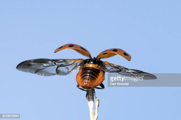 Harlequin Ladybird takes flight on November 3 2016 in London England Harlequin Ladybirds are an invasive species original from Asia and have been...