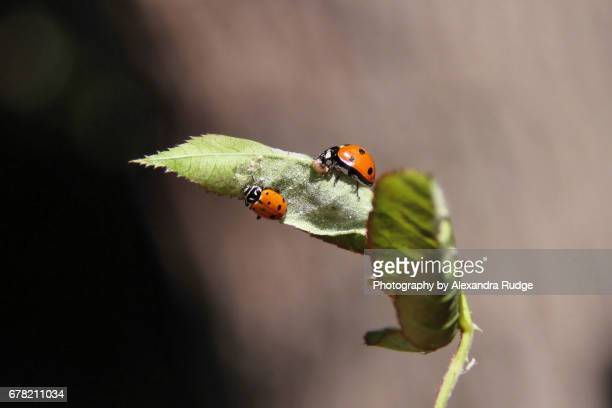 harlequin ladybug - harlequin stock photos and pictures