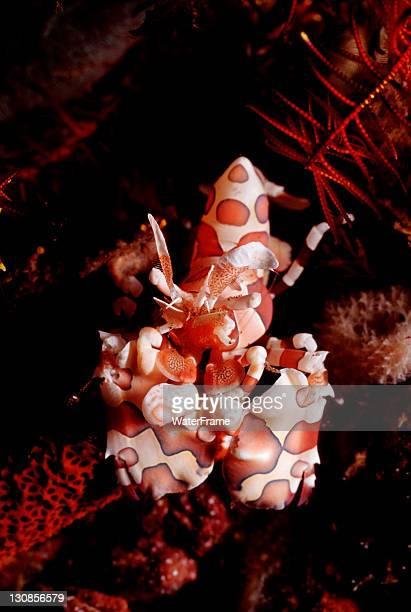 Harlequin shrimp (Hymenocera elegans) Bali, Indian Ocean, Indonesia