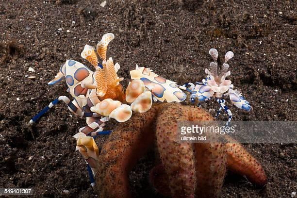 Harlequin Shrimps on Starfish, Hymenocera elegans, Alam Batu, Bali, Indonesia
