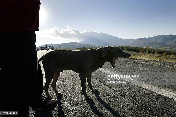 Harley a dog visiting from Chino California with his master Brian McColl yawns as ash and steam spews from Mount Saint Helens volcano in the largest...