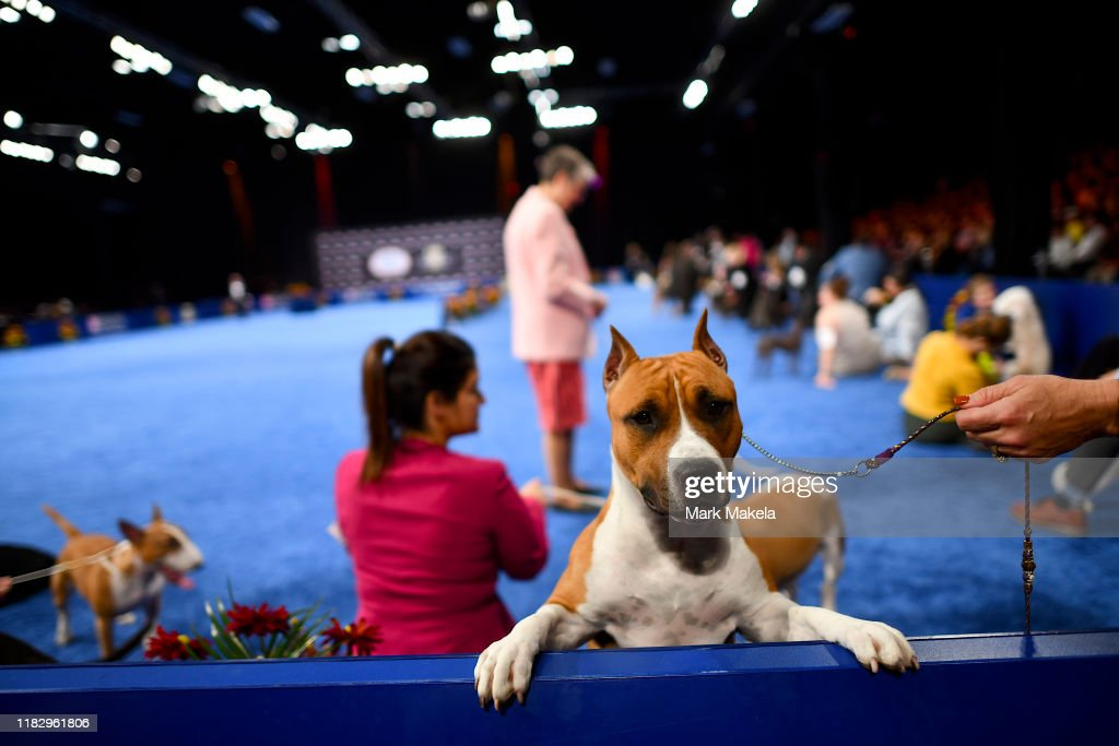 Canine Breeds Compete In National Dog Show Held Outside Of Philadelphia : News Photo