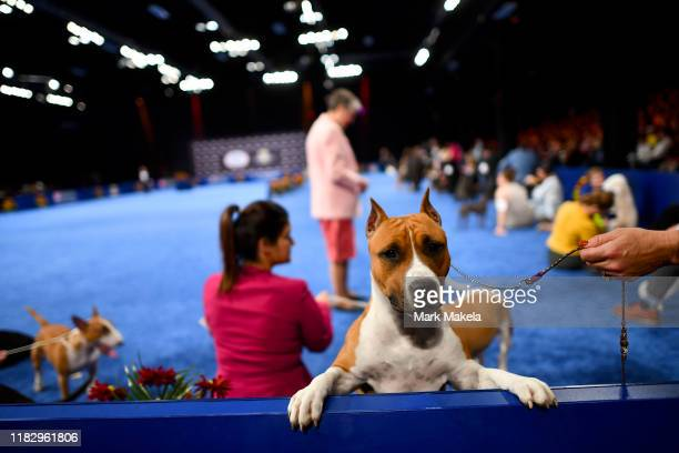 Harley an 18 month old American Staffordshire Terrier leans over a wall while competing during the National Dog Show held at the Greater Philadelphia...