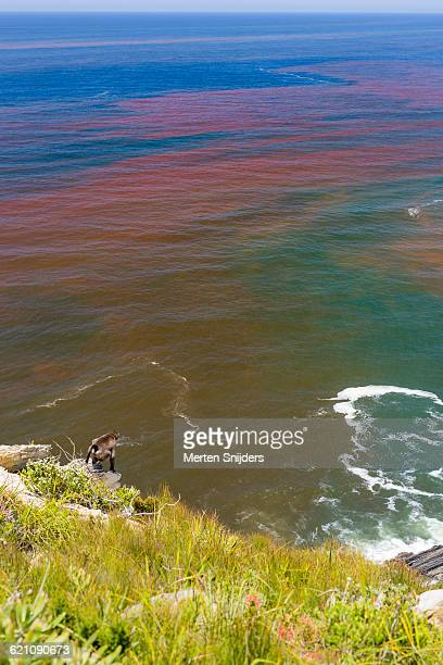 harmful algal bloom (hab), red tide - red tide stock pictures, royalty-free photos & images