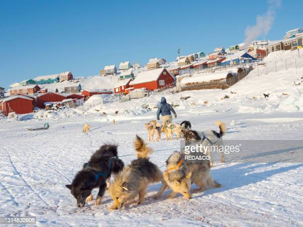 Harnessing the sled dogs. The hunter is wearing traditionl trousers and boots made from polar bear fur. The traditional and remote greenlandic inuit...