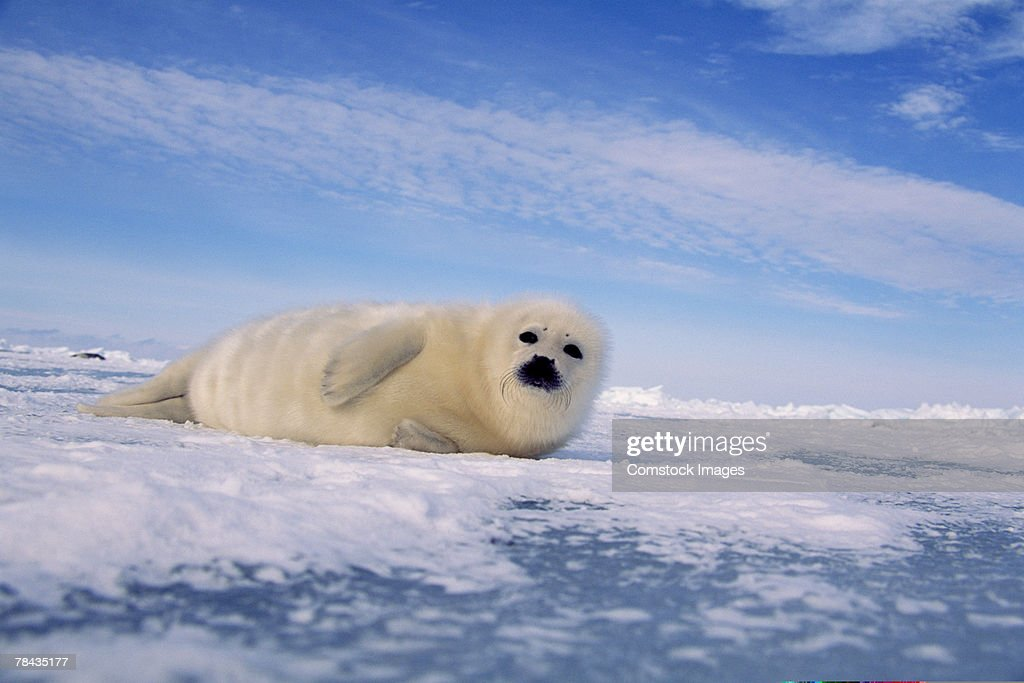 Harp seal , Canada : Stockfoto