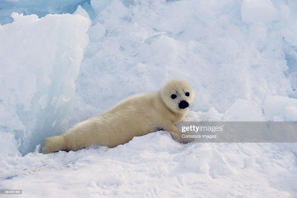 Harp seal in snow , Canada : Stockfoto