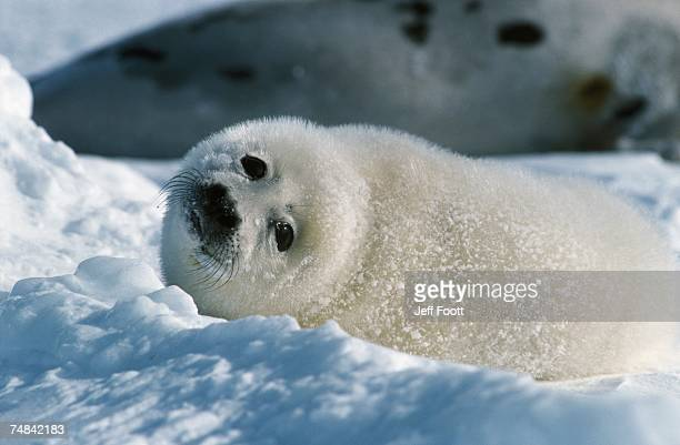 Harp seal mother and pup lay in snow. Phoca groenlandica. Gulf of St. Lawrence, Canada.