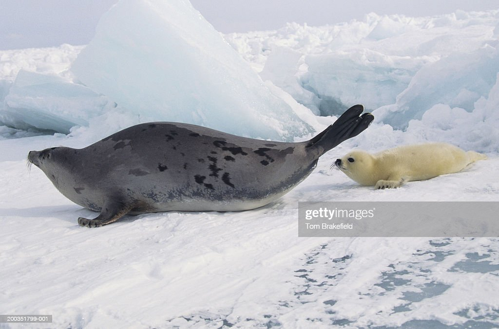 Harp seal (Phoca groenlandica) mother with whitecoat, Canada : Stock Photo