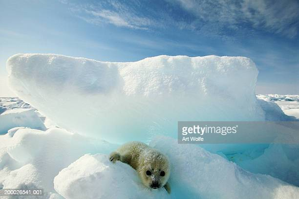 harp seal (phoca groenlandica) on iceberg - seal pup stock photos and pictures