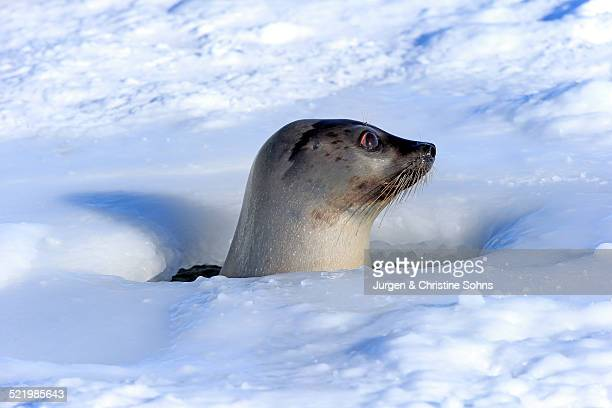 Harp Seal or Saddleback Seal -Pagophilus groenlandicus, Phoca groenlandica-, adult female, looking out of breathing hole or aglu, Magdalen Islands, Gulf of Saint Lawrence, Quebec, Canada
