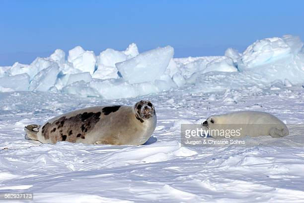 Harp Seal or Saddleback Seal -Pagophilus groenlandicus, Phoca groenlandica-, adult female with pup on pack ice, Magdalen Islands, Gulf of Saint Lawrence, Quebec, Canada