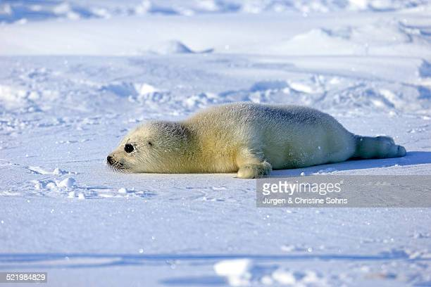 harp seal or saddleback seal -pagophilus groenlandicus, phoca groenlandica-, pup on pack ice, magdalen islands, gulf of saint lawrence, quebec, canada - seal pup stock photos and pictures