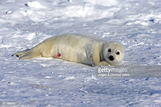 harp seal or saddleback seal -pagophilus groenlandicus, phoca groenlandica-, pup on pack ice, magdalen islands, gulf of saint lawrence, quebec, canada - female reproductive system stock photos and pictures