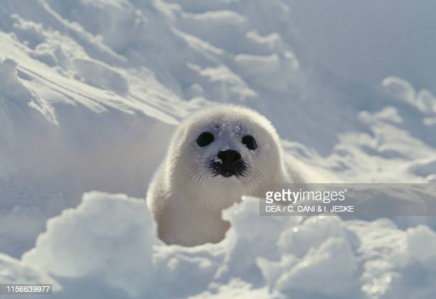 Harp seal or saddleback seal pup Magdalen Islands Quebec Canada