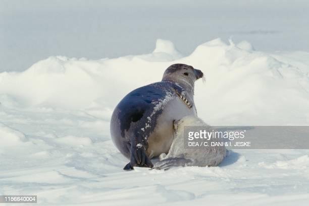 Harp seal or saddleback seal pup , Magdalen Islands, Quebec, Canada.
