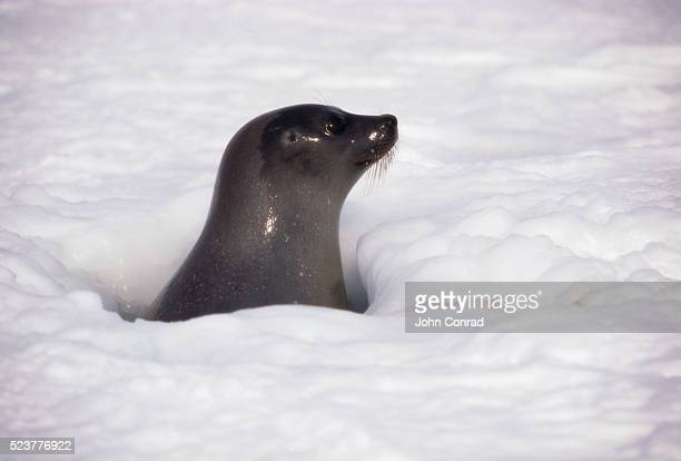 Harp Seal Peeking from Breathing Hole