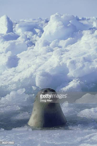 harp seal, phoca groenlandica  adult female in the ice  gulf of st.lawrence. canada