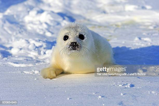 harp seal - seal pup stock pictures, royalty-free photos & images