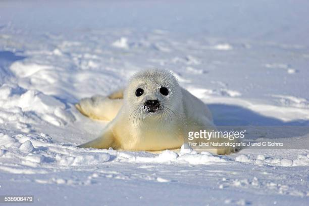 harp seal - baby seal stock photos and pictures