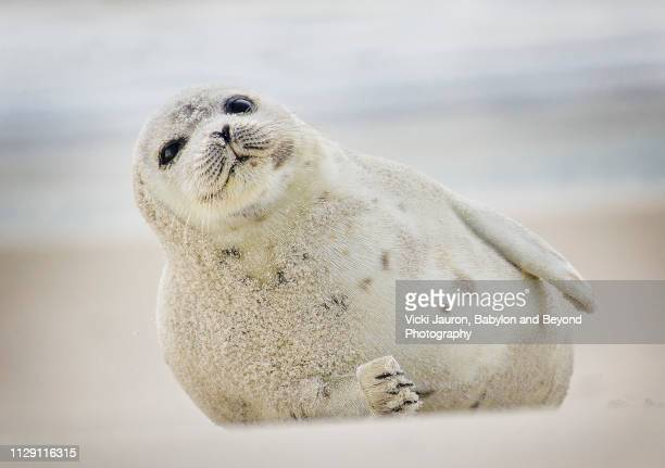 harp seal posing for camera at jones beach, long island - seal pup stock photos and pictures