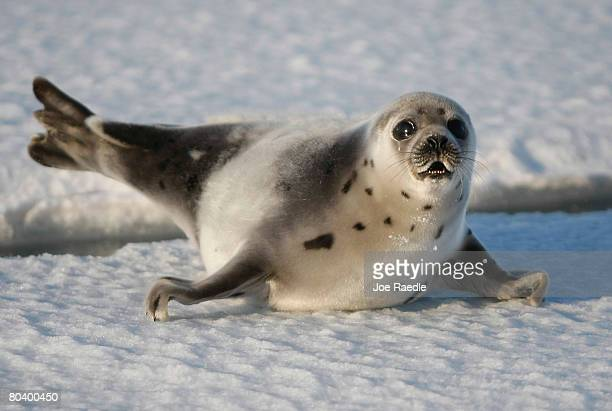 Harp seal pup lies on an ice floe March 27 2008 in the Gulf of Saint Lawrence in Canada Canada's seal hunt is expected to start tomorrow and the...