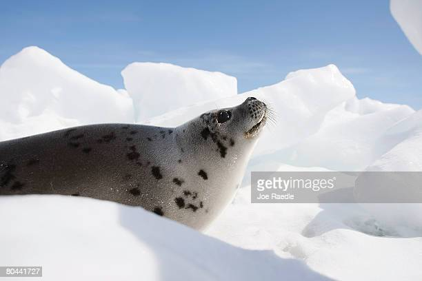 Harp seal pup lies on an ice floe March 31 2008 in the Gulf of Saint Lawrence near Charlottetown Canada Canada's annual seal hunt is in its fourth...