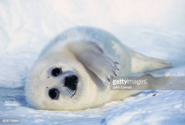 harp seal pup on its side - seal pup stock pictures, royalty-free photos & images
